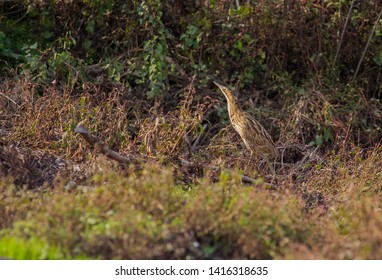 Eurasian Bittern (Botaurus stellaris) is one of the best camouflage masters in the world. It is a bird species fed by frogs, snakes, fish and mice in swamps and wetlands.