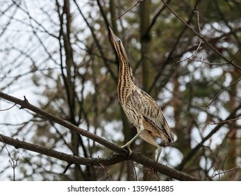 Eurasian bittern botaurus stellaris sitting on branch of tree in forest during spring migration. Rare brown heron in uncommon environment. Bird in wildlife.