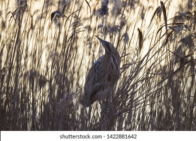 Eurasian bittern hidden among reeds