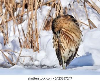Eurasian Bittern outdoor in winter (botaurus stellaris)