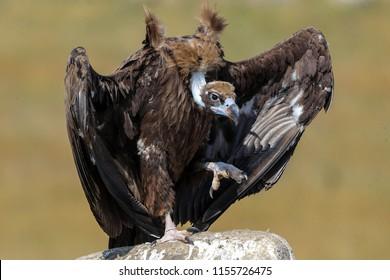 Eurasian Black Vulture  Cinereous Vulture  Aegypius monachus