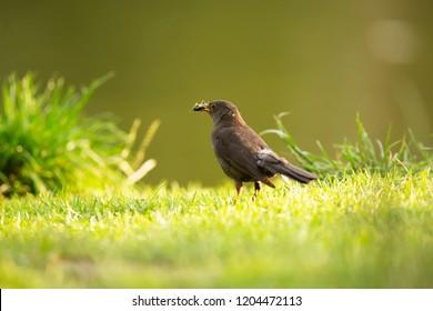 Eurasian blackbird in the grass