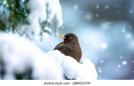 Eurasian Blackbird on bush with snow in winter, the best photo.