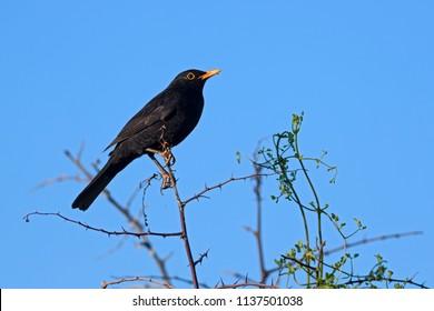 Eurasian Blackbird - Turdus merula, common blackbird from European gardens and forests.