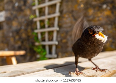 Eurasian Blackbird (Turdus merula) in nice portrait pose, Wales, UK