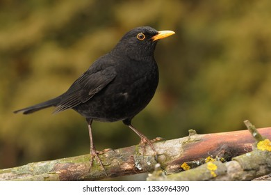 Eurasian Blackbird - Turdus merula  species of true thrush. It breeds in Europe, Asia, and North Africa, and has been introduced to Australia and New Zealand.
