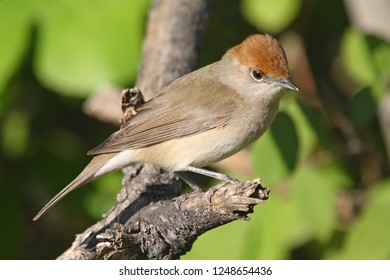 Eurasian Blackcap, Sylvia atricapilla. Identification: Grayish brown upper parts; the male with top of the black head, that of the female is reddish brown.