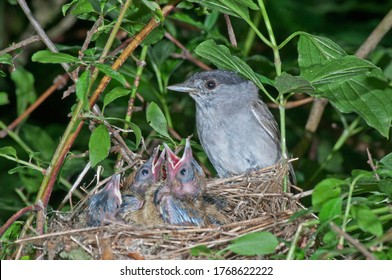 Eurasian blackcap (Sylvia atricapilla), male, in nest with fledglings, Baden-Württemberg, Germany
