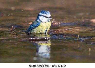 Eurasian blue tit (Cyanistes caeruleus) at an ice hole in the forest in winter in the Netherlands.