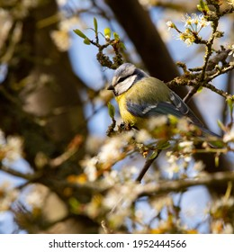 The Eurasian blue tit (Cyanistes caeruleus) is a small yellow, white and blue bird from Europe. Bird in a hawthorn hedge in early spring. White flowers and young green leaves. Wild fauna of France