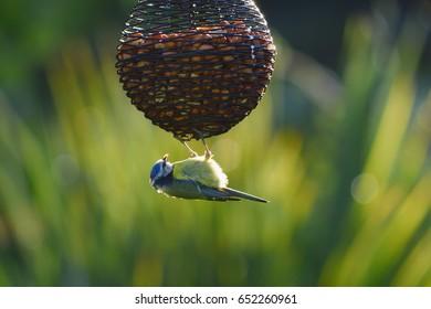 Eurasian blue tit hanging on a bird feeder in garden