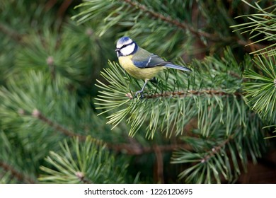Eurasian Blue Tit sits on pine branch, the Netherlands