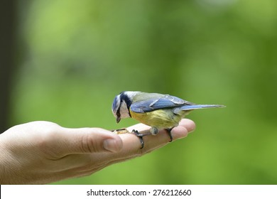 Eurasian blue tit standing on human hand and feeding