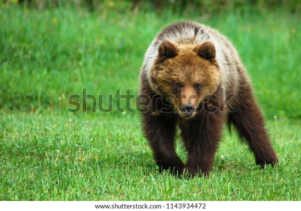 The Eurasian brown bear (Ursus arctos arctos) is one of the most common subspecies of the brown bear. the European bear, common brown bear. Liptov, Slovakia. Green natural background.
