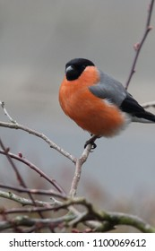 The Eurasian bullfinch, common bullfinch or bullfinch (Pyrrhula pyrrhula) is a small passerine bird in the finch family Fringillidae