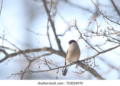 Eurasian Bullfinch  on the branch of tree