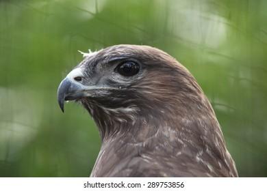 Eurasian buzzard (Buteo buteo), also known as the common buzzard. Wildlife animal.