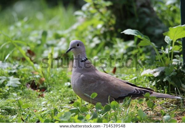 Eurasian collared dove in the green grass