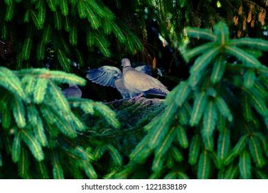 Eurasian collared dove sitting on a tree stump, Streptopelia decaocto, eurasian collared dove fledglings