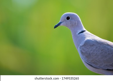 The Eurasian collared dove is a dove species native to Europe and Asia