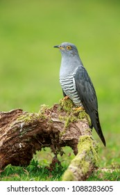 The Eurasian or Common Cuckoo up close perched.