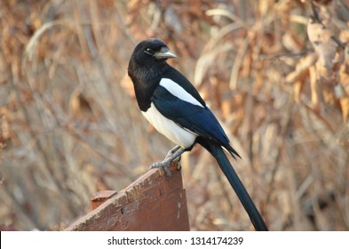 EURASIAN COMMON MAGPIE PICA PICA BIRDS FLYING IN NATURE