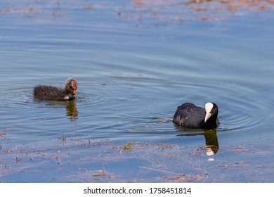 Eurasian coot chicks. The Eurasian coot or Fulica atra, also known as the common coot or Australian coot, is a waterfowl of the Rallidae family