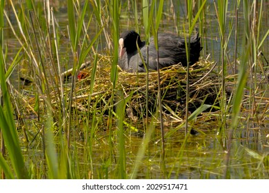 Eurasian coot with chicks in a nest hidden in the reed in a pool in Bourgoyen nature reserve, Ghent, Flanders, Belgium - Fulica atra