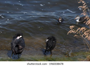 Eurasian coot (common coot, Australian coot, Fulica atra) at shore front. Parent and juvenile waterbirds prinking at riverside. Black red-eyed adult waterbird with baby chick on embankment action foto