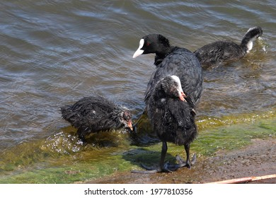 Eurasian coot (common coot, Australian coot, Fulica atra) at shore front. Juvenile waterbird prinking at waterside with parent. Black red-eyed adult waterbird with baby chick on embankment action foto