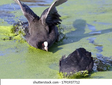 Eurasian coot or common coot (Fulica atra) fighting and showing territorial attitude on the water on a lake. Beatiful looking water bird fighting and attacking. Taken in Santander, Spain.