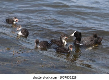 Eurasian coot (common coot, Fulica atra) family feeding. Parent gives algae to juvenile bird. Adult Australian coot and baby chick interaction. Waterbirds offsprings brood. Motherhood and care concept