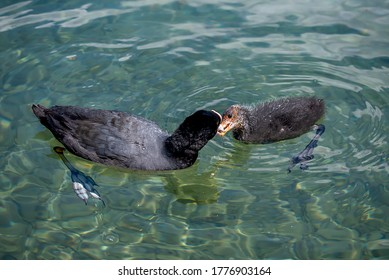 Eurasian coot. Fulica atra. The common coot. Australian coot. Mother coot is feeding chick in water in Switzerland. Motherhood, care and love concept.