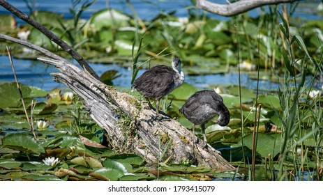 Eurasian coot. Fulica atra. The common coot. Australian coot. Two young coots are cleaning feathers on log in water in natural environment. Lake with lotus and reeds.