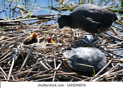 The Eurasian Coot (Fulica atra), also known as Coot, is a member of the rail and crake bird family, the Rallidae. With the chicks in the nest and the visit of a turtle.