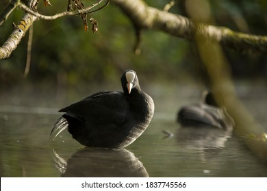 The Eurasian coot (Fulica atra), also known as the common coot, or Australian coot, is a member of the rail and crake bird family, the Rallidae.