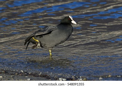 Eurasian coot, Fulica Atra, in shallow water stretching its legs and wings at the lake shore