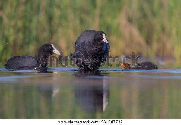 Eurasian Coot - Fulica atra - at a small lake - Vilnius County, Lithuania