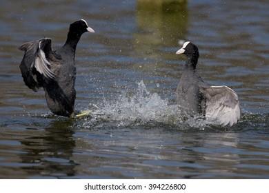 Eurasian Coot, Coot, Fulica atra - spring flight.