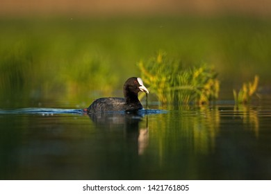 eurasian coot, fulica atra,common coot