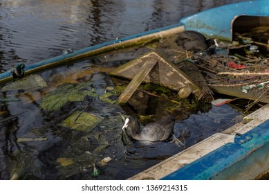 Eurasian coot holds a plastic bag in its beak, near her nest in a half-sunk boat in an Amsterdam canal.