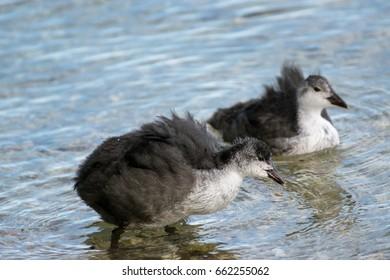 Eurasian coot on a Lake