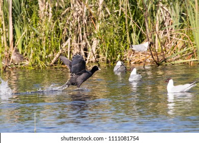 Eurasian coot running on water between black-headed gulls. Cute black waterbird in motion. Bird in wildlife.