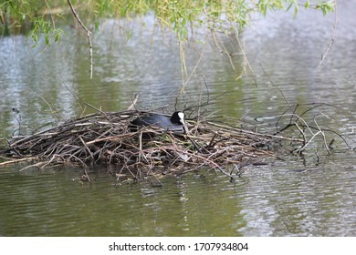 Eurasian coot sitting in a nest in a lake