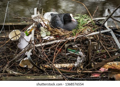 Eurasian Coot sitting on a nest built with human trash and litter in Amsterdam