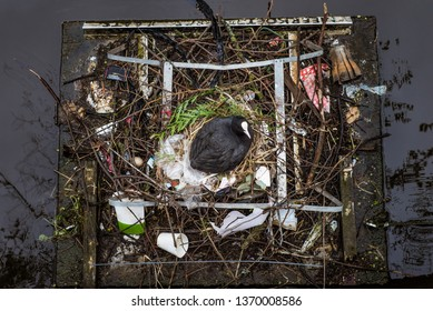"""Eurasian Coot sitting on a nest built with human trash and litter, viewed from above. Dutch sign at the top reads, """"MEERKOETJE BROEDPLAATS,"""" meaning """"Coot nesting place"""""""