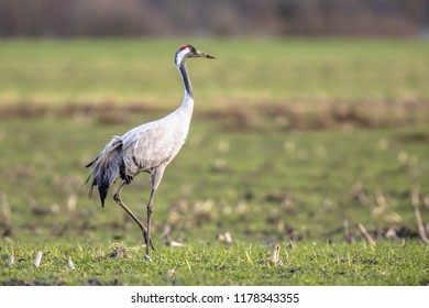 Eurasian Crane (Grus grus) in green grass field and looking in camera