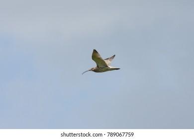 Eurasian curlew flyong in sky. Cute large rare shorebird. Bird in wildlife.