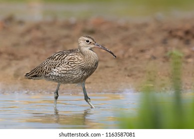 A Eurasian Curlew also known as Common Curlew (Numenius arquata) wading in muddy water, East Yorkshire, UK