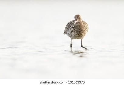 Eurasian Curlew-  Numenius arquata on white background